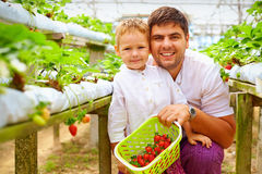Father and son harvesting strawberries in greenhouse. Father and his son harvesting strawberries in greenhouse Royalty Free Stock Photo