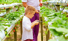 Father and son harvesting strawberries in greenhouse Royalty Free Stock Photos