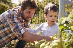 Father And Son Looking At Tomatoes Growing On Allotment stock image