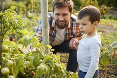 Father And Son Looking At Tomatoes Growing On Allotment stock photos