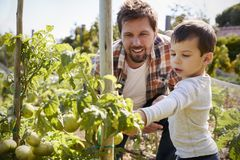 Father And Son Looking At Tomatoes Growing On Allotment royalty free stock photo