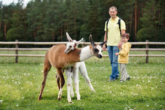 Father and son looking at two baby lamas Stock Photography
