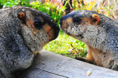 Father and son Marmot on wood Stock Photo