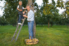 Father and son (7-9) picking apples, boy on ladder, portrait Stock Photos