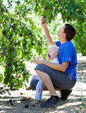 Father and son picking plums Stock Images