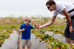 Father and son picking strawberries Royalty Free Stock Image