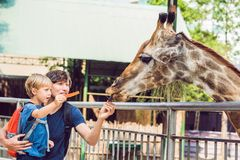 Father and son watching and feeding giraffe in zoo. Happy kid having fun with animals safari park on warm summer day stock photo