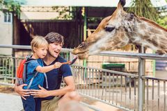 Father and son watching and feeding giraffe in zoo. Happy kid having fun with animals safari park on warm summer day.  royalty free stock image