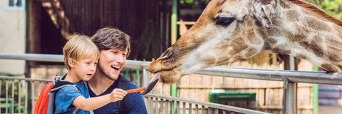 Father and son watching and feeding giraffe in zoo. Happy kid having fun with animals safari park on warm summer day. BANNER, long format stock photos