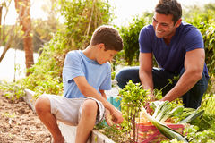 Father And Son Working On Allotment Together Royalty Free Stock Photo