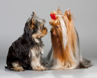 Father and son Yorkshire terrier Royalty Free Stock Photo
