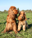 Father and soon. Family of purebred english cocker sitting in a field Stock Image