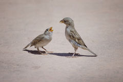 Father sparrow feeding his kid. Close-up of father sparrow feeding his baby with open mouth Stock Image