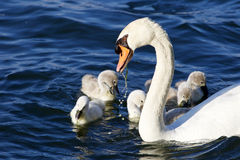 The father-swan helps her chicks to get the algae Royalty Free Stock Photos