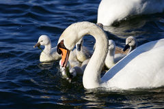 The father-swan is taking care about his children Royalty Free Stock Images