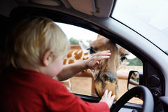Father and toddler child watching and feeding giraffe animals at the safari park Royalty Free Stock Photography