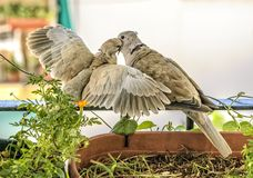 Father turtledove feeding his son. Turtledove nesting in a balcony during summer at Andalusia, Spain, Europe Royalty Free Stock Images
