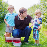 Father and two little boys on organic raspberry farm Royalty Free Stock Photos