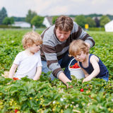 Father and two little boys on organic strawberry farm Royalty Free Stock Image