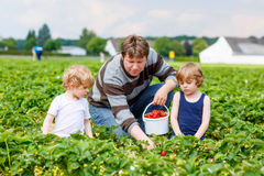 Father and two little kid boys on strawberry farm in summer Royalty Free Stock Images
