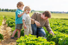 Father and two little sibling boys on organic strawberry farm Stock Image