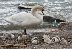While the father is working. The swan with her children are resting Stock Image