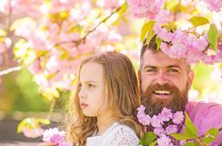 Fatherhood concept. Girl with dad near sakura flowers on spring day. Child and man with tender pink flowers in beard. Fatherhood concept. Girl with dad near stock photos