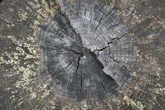 Fatia bonita de tronco de árvore velho Imagem de Stock