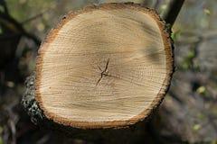 fatia dos anéis anuais de madeira Imagem de Stock
