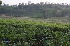 Fatickchri Odulia Herbaciany ogród, Najirhat, Chittagong, Bangladesz Obrazy Stock
