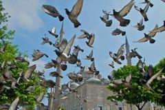 Fatih Mosque e piccioni 1 Immagini Stock