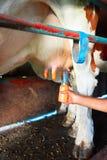 Fatmilking de la vaca completo antes de ordeñar la operación fotografía de archivo
