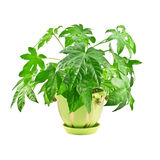 Fatsia Stock Photos