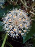 Fatsia Japonica Flower Stock Photo
