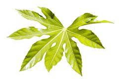 Fatsia Japonica leaf. Fatsia Japonica a green leaf semi evergreen shrub commonly known as castor oil plant cut out and isolated on a white background Stock Photography