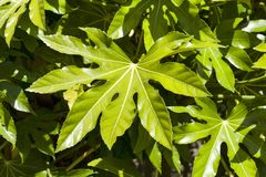Fatsia Japonica. A green leaf semi evergreen shrub commonly known as castor oil plant Stock Photos