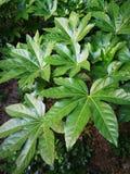 fatsia japonica Stock Photo
