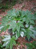 Fatsia japonica Stock Photos