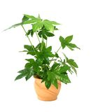 Fatsia japonica in pot isolated on white Stock Photo