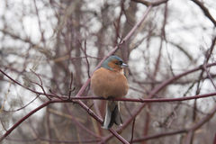 Fat finch sits on a branch. He cringed from the cold. royalty free stock photography