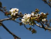 Fatta av ett blomstra fruktträd Arkivbild