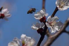 Fatta blomstra aprikons och biet Arkivbild