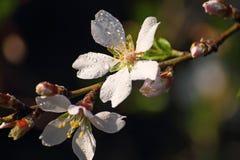 Fatta blomstra mandeln Fotografering för Bildbyråer