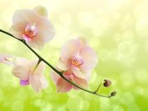 Fatta blomstra orkidér på en suddig bakgrund Arkivfoton