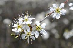Fatta i blomning under våren, detalj Royaltyfri Fotografi