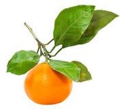 Fatta med den isolerade nya mogna abkhazian tangerin Arkivfoton