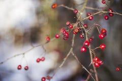 Fatta med frostade hagtornbär Arkivbilder