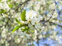 Fatta med många vita blomningar i fruktträdgård i vår royaltyfria bilder