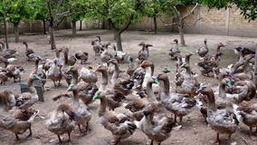Fattening breeding of domestic geese stock footage