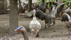Fattening breeding of domestic geese stock video